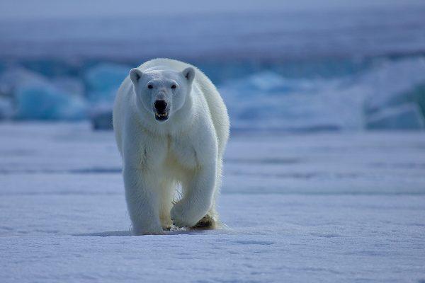 Número de osos polares en el Ártico podría disminuir un 30% a mediados de siglo