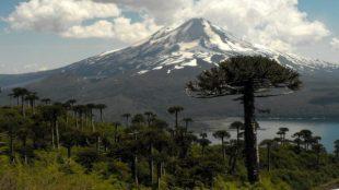 Peligra existencia de araucarias en Chile: Cambio climático dificulta la fotosíntesis