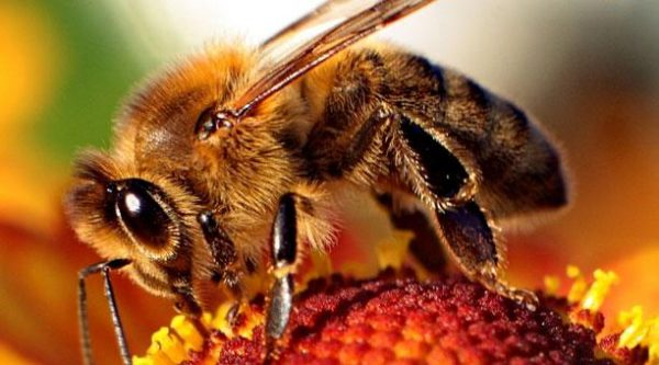 Las abejas pueden reducir el impacto del cambio climático en el café producido en Latinoamérica