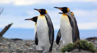 El Pingüino rey podría desaparecer a causa del cambio climático