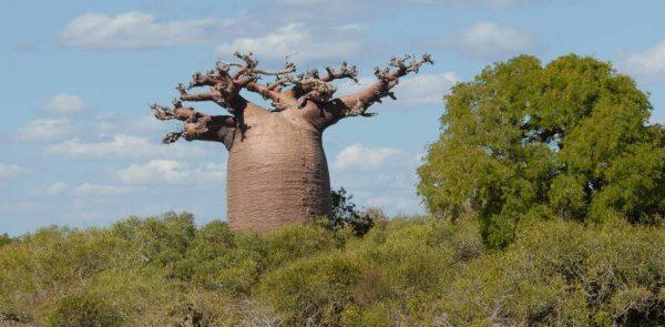 Asocian el cambio climático a la muerte de milenarios árboles baobab