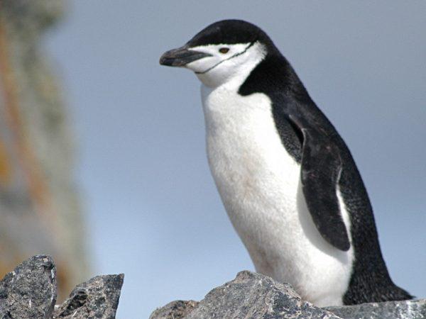 Estudio pone en evidencia que Pingüino barbijo de la Antártica estaría en riesgo de extinción
