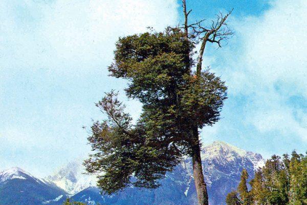 Estudio determina por qué se están muriendo los grandes árboles